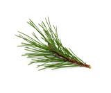 Pinus Maritima